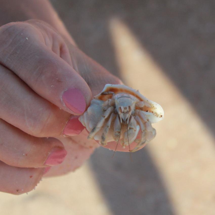 Рак отшельник в Красном море.