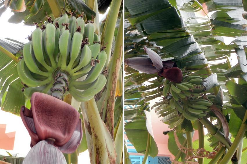 Как растут бананы? Банановая пальма.