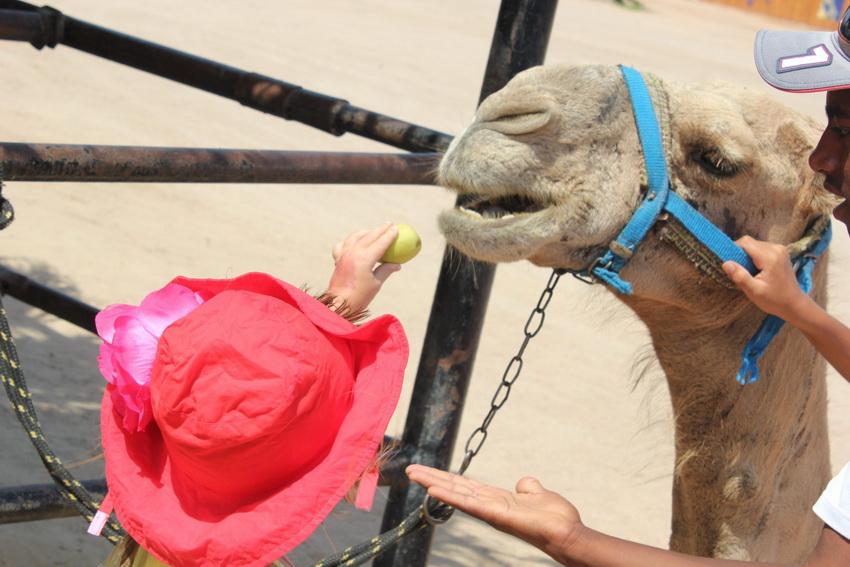 Верблюда можно покормить яблочком.