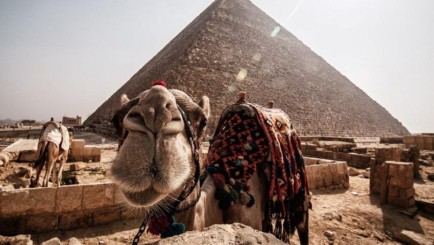 Любопытный верблюд