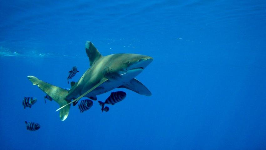 Акулы в Красном море.