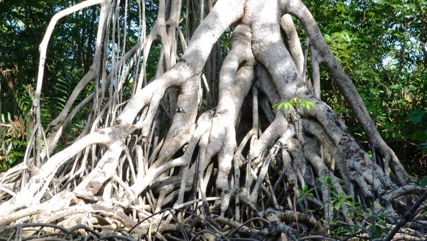 Мангровое дерево.