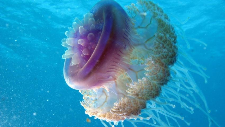 Медуза вблизи.