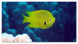 Желтая рыбка.