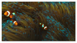 rybki-nemo