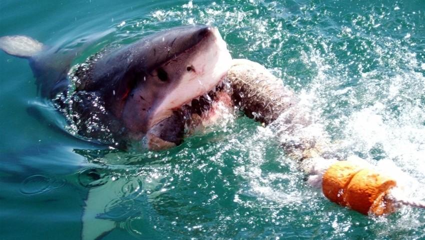 Акула выныривает из воды.