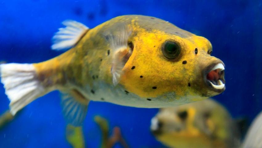 Ядовитая рыба.