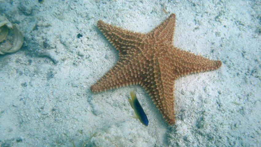 Морская звезда.